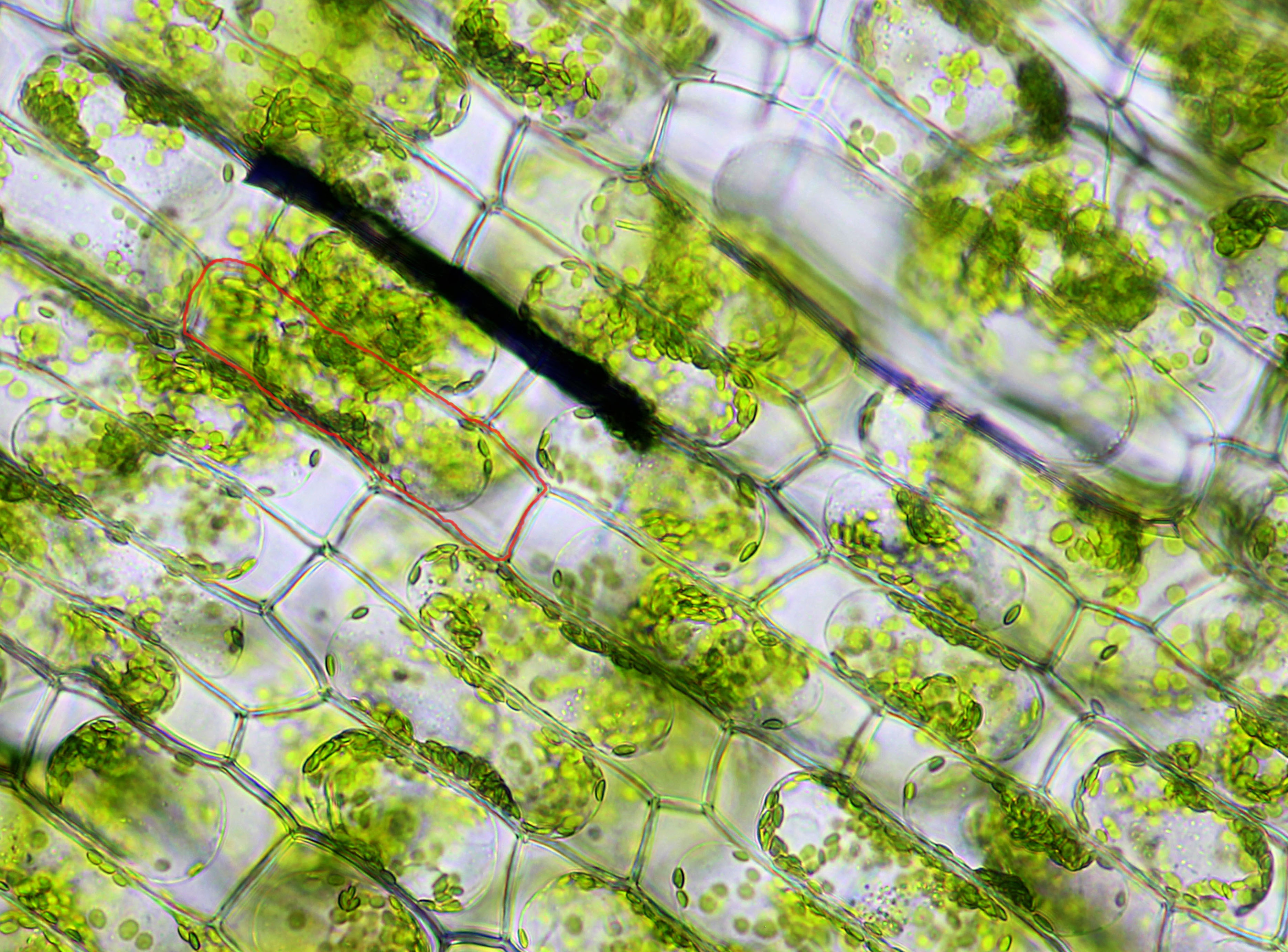 Elodea Cell Lab Elodea Leaf Cells in