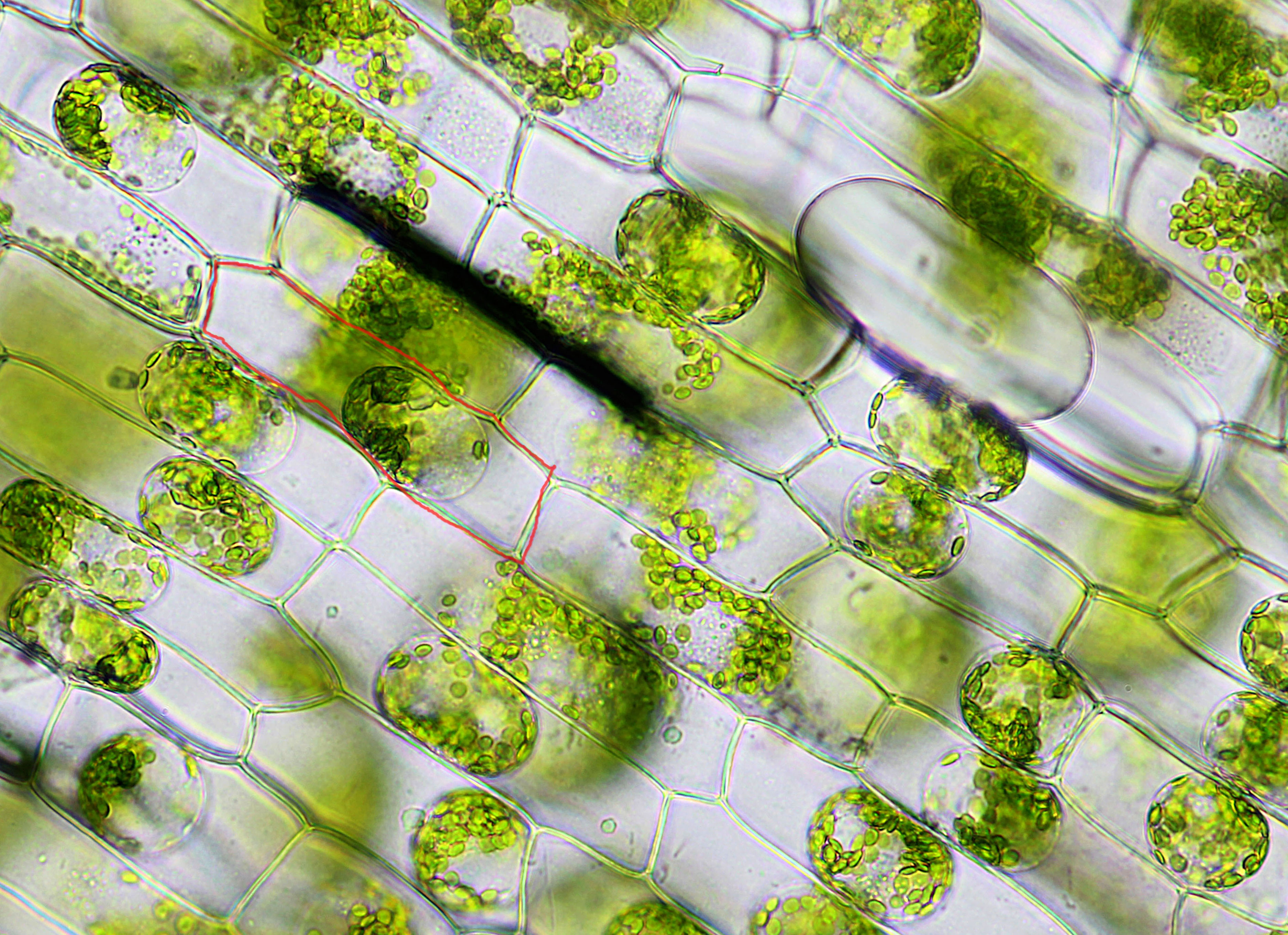 Elodea Leaf Cell Under Microscope Elodea Leaf Cells in