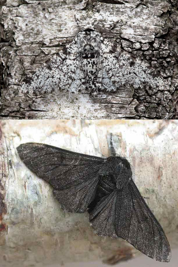 Light and Dark Variations of the Peppered Moth